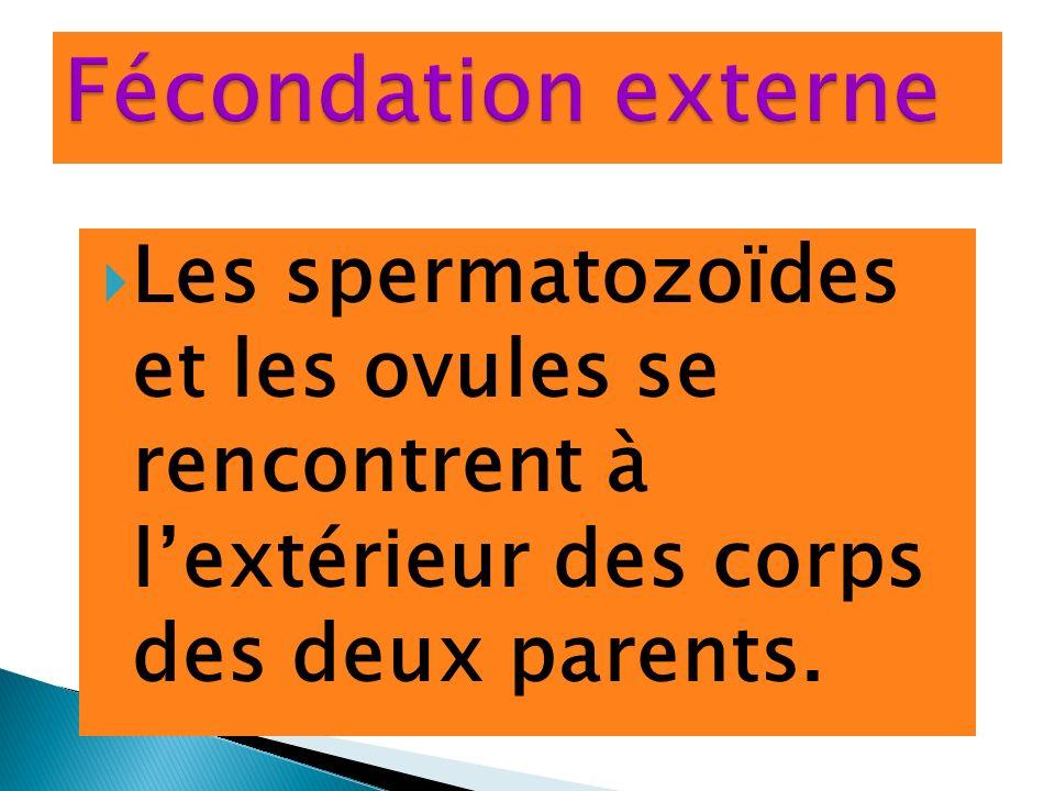 Les spermatozoïdes et les ovules se rencontrent à lextérieur des corps des deux parents.