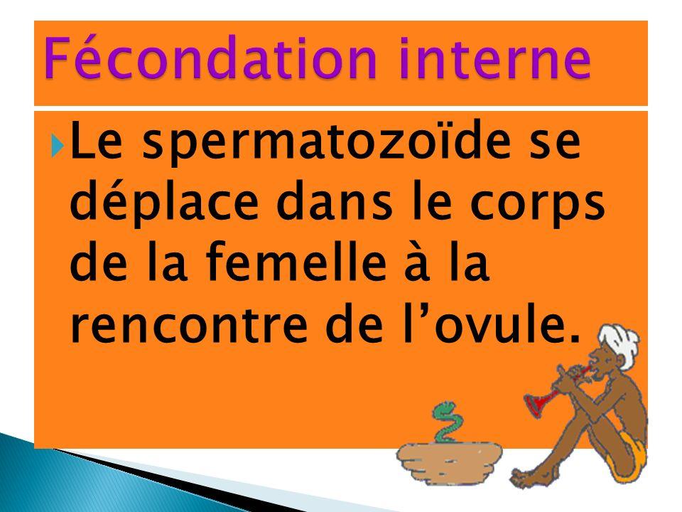 Le spermatozoïde se déplace dans le corps de la femelle à la rencontre de lovule.