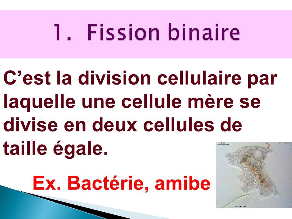 Cest la division cellulaire par laquelle une cellule mère se divise en deux cellules de taille égale. Ex. Bactérie, amibe