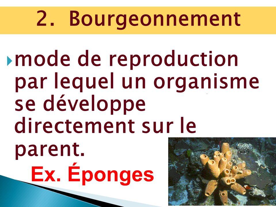 mode de reproduction par lequel un organisme se développe directement sur le parent. Ex. Éponges 2. Bourgeonnement