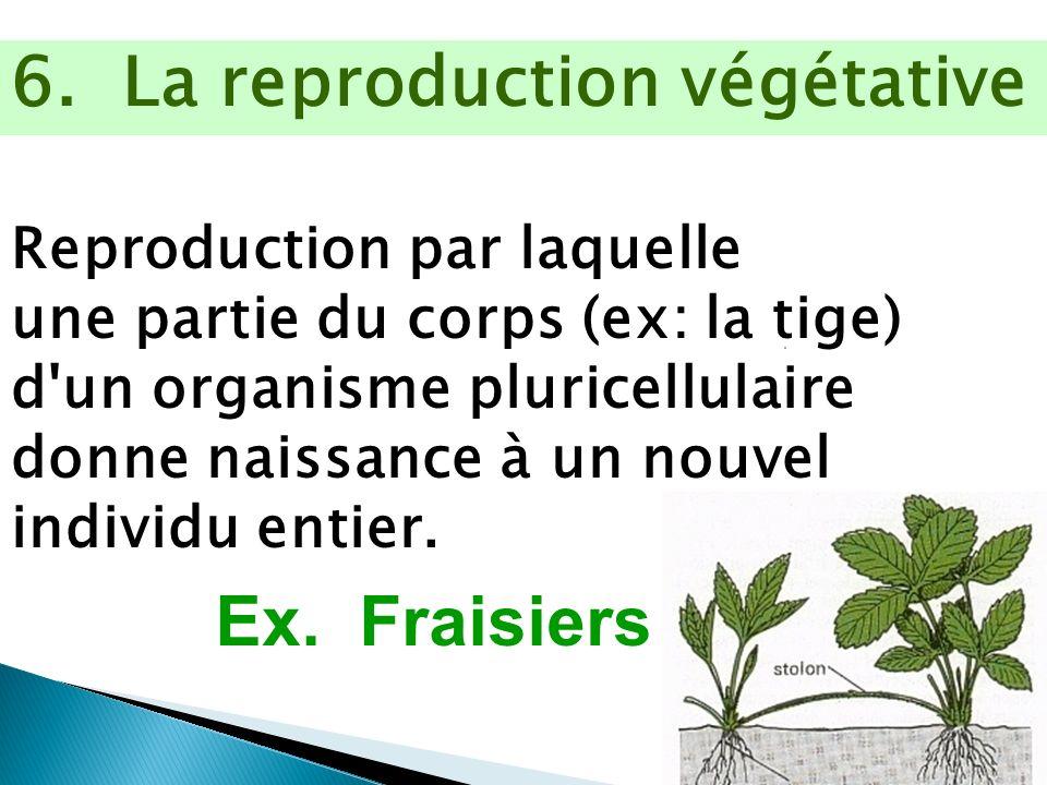 6. La reproduction végétative Reproduction par laquelle une partie du corps (ex: la tige) d'un organisme pluricellulaire donne naissance à un nouvel i