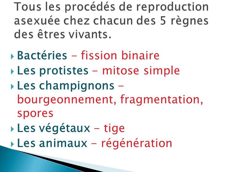 Bactéries - fission binaire Les protistes - mitose simple Les champignons - bourgeonnement, fragmentation, spores Les végétaux - tige Les animaux - ré