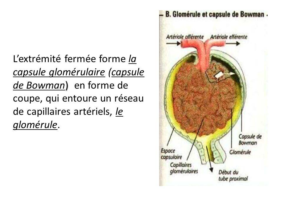 ) Lextrémité fermée forme la capsule glomérulaire (capsule de Bowman) en forme de coupe, qui entoure un réseau de capillaires artériels, le glomérule.