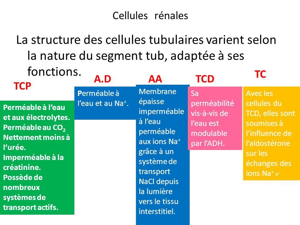 Cellules rénales La structure des cellules tubulaires varient selon la nature du segment tub, adaptée à ses fonctions. TCP A.DAA TC TCD Perméable à le