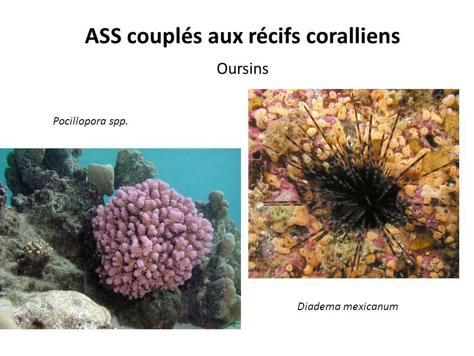 ASS couplés aux récifs coralliens Oursins Pocillopora spp. Diadema mexicanum