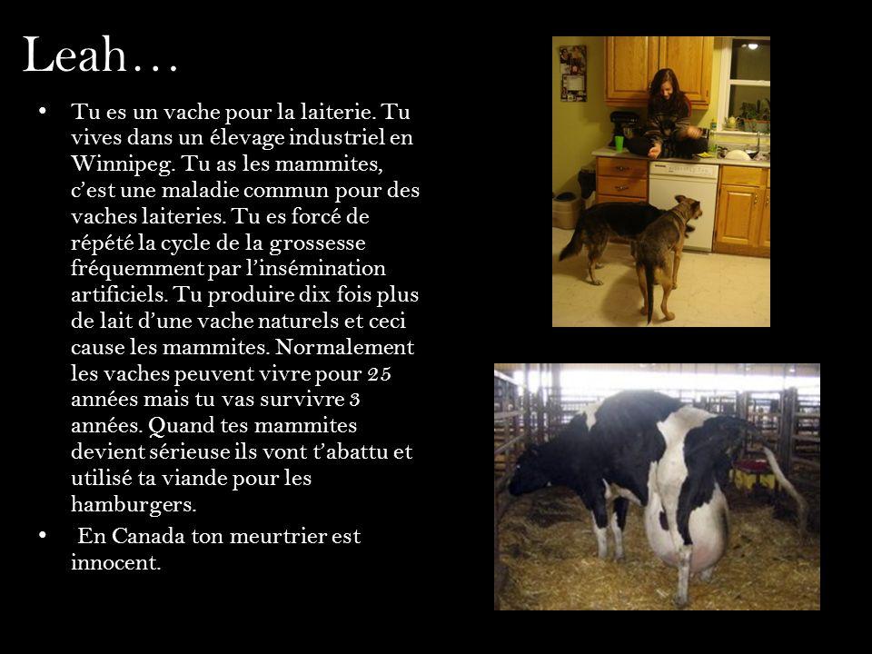 Leah… Tu es un vache pour la laiterie. Tu vives dans un élevage industriel en Winnipeg. Tu as les mammites, cest une maladie commun pour des vaches la