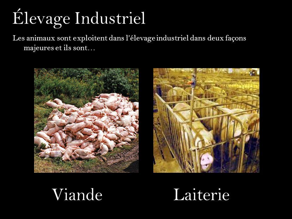 Élevage Industriel Les animaux sont exploitent dans lélevage industriel dans deux façons majeures et ils sont… ViandeLaiterie