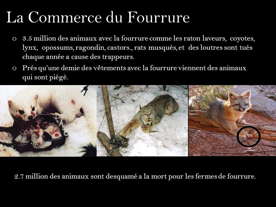La Commerce du Fourrure o 3.5 million des animaux avec la fourrure comme les raton laveurs, coyotes, lynx, opossums, ragondin, castors., rats musqués,