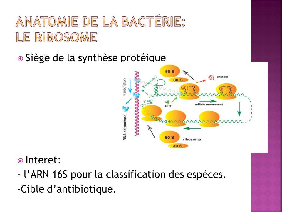 Siège de la synthèse protéique Interet: - lARN 16S pour la classification des espèces.