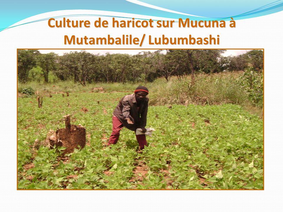 Culture de haricot sur Mucuna à Mutambalile/ Lubumbashi