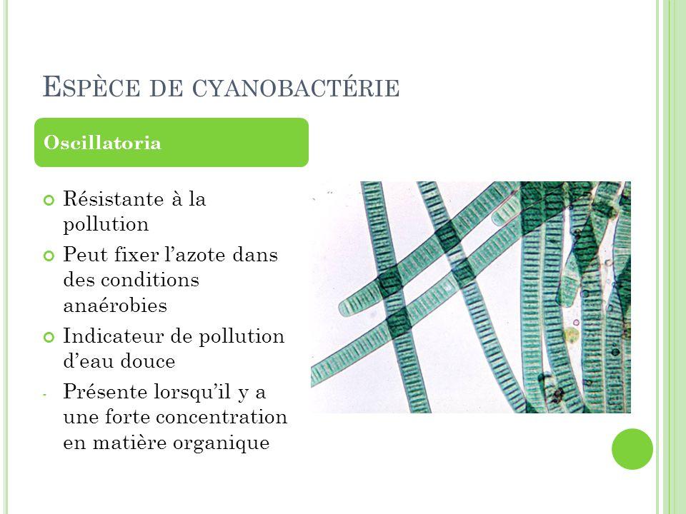 E SPÈCE DE CYANOBACTÉRIE Résistante à la pollution Peut fixer lazote dans des conditions anaérobies Indicateur de pollution deau douce - Présente lors