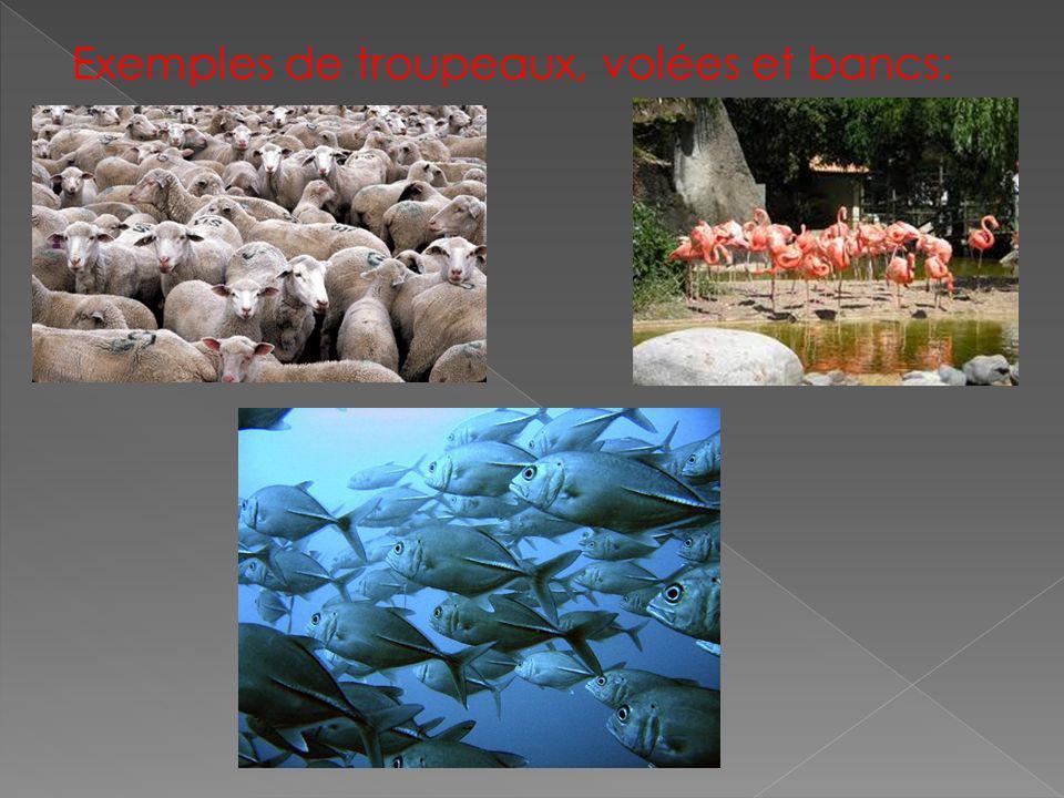 Exemples de troupeaux, volées et bancs: