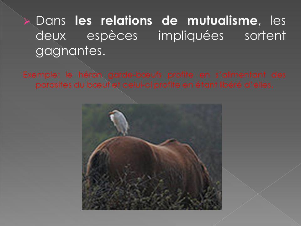Dans les relations de mutualisme, les deux espèces impliquées sortent gagnantes. Exemple: le héron garde-bœufs profite en salimentant des parasites du