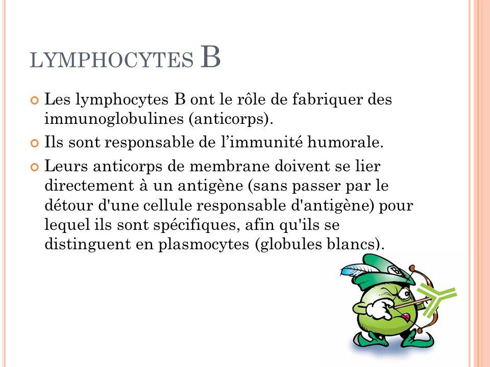 LYMPHOCYTES B Les lymphocytes B ont le rôle de fabriquer des immunoglobulines (anticorps). Ils sont responsable de limmunité humorale. Leurs anticorps