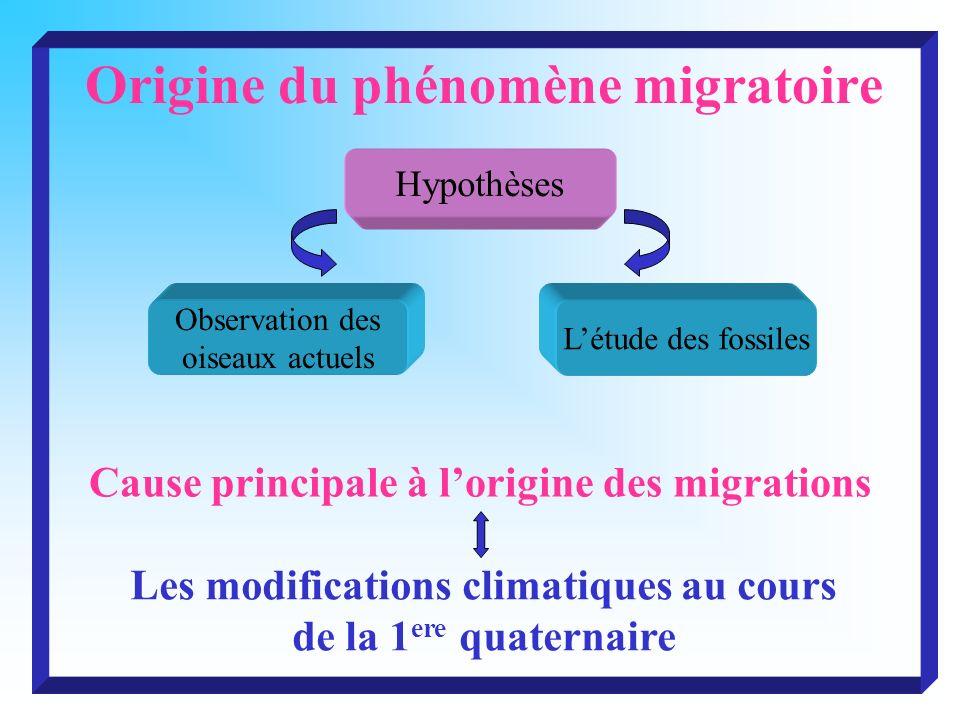 Origine du phénomène migratoire Hypothèses Observation des oiseaux actuels Létude des fossiles Cause principale à lorigine des migrations Les modifica