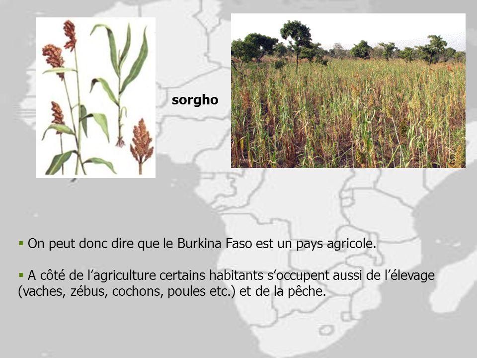 On peut donc dire que le Burkina Faso est un pays agricole. A côté de lagriculture certains habitants soccupent aussi de lélevage (vaches, zébus, coch