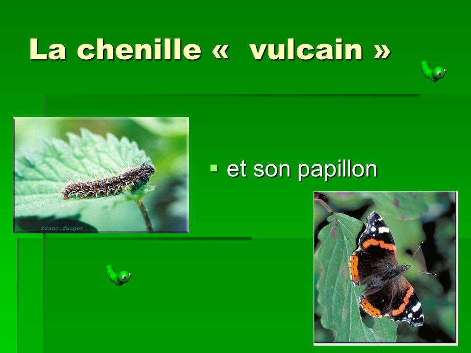 La chenille « vulcain » et son papillon et son papillon