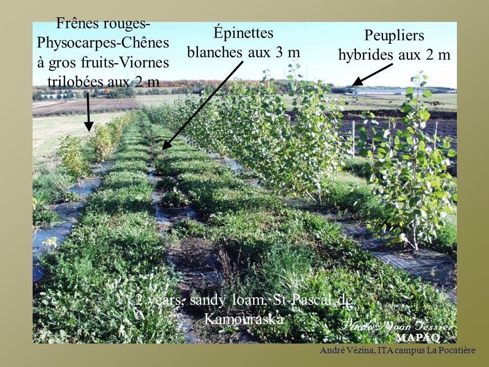 Peupliers hybrides aux 2 m Épinettes blanches aux 3 m Frênes rouges- Physocarpes-Chênes à gros fruits-Viornes trilobées aux 2 m 2 years, sandy loam, S
