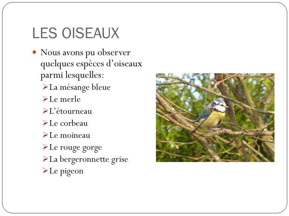 LES OISEAUX Nous avons pu observer quelques espèces doiseaux parmi lesquelles: La mésange bleue Le merle Létourneau Le corbeau Le moineau Le rouge gorge La bergeronnette grise Le pigeon