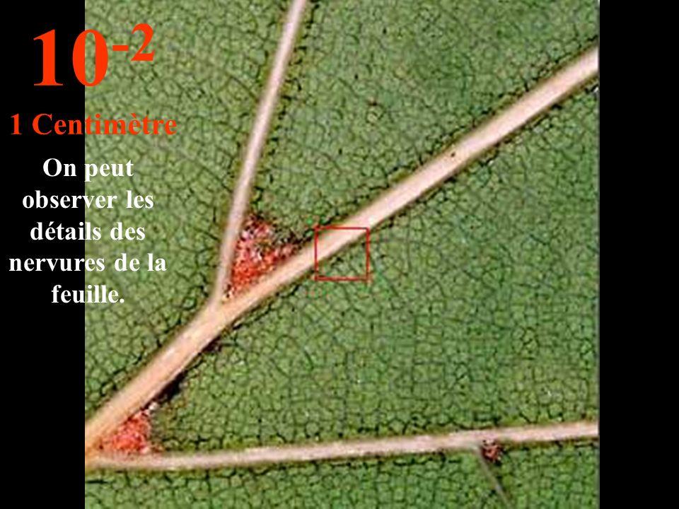 Cest une feuille de chêne. 10 -1 10 Centimètres