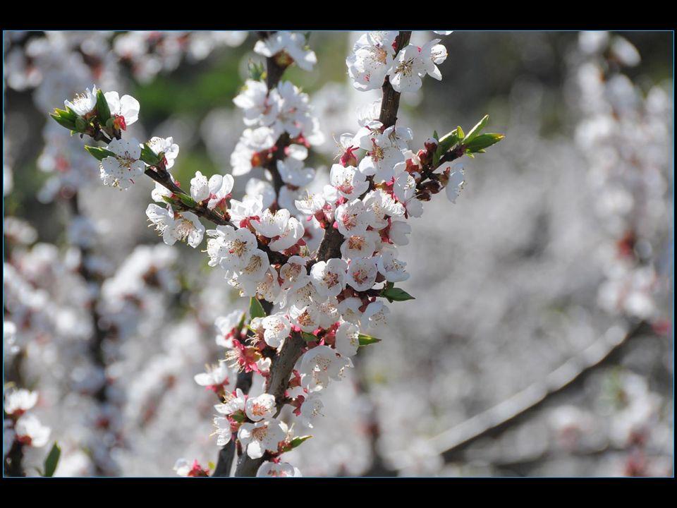 le 18 avril, abricotiers en fleurs à Baar