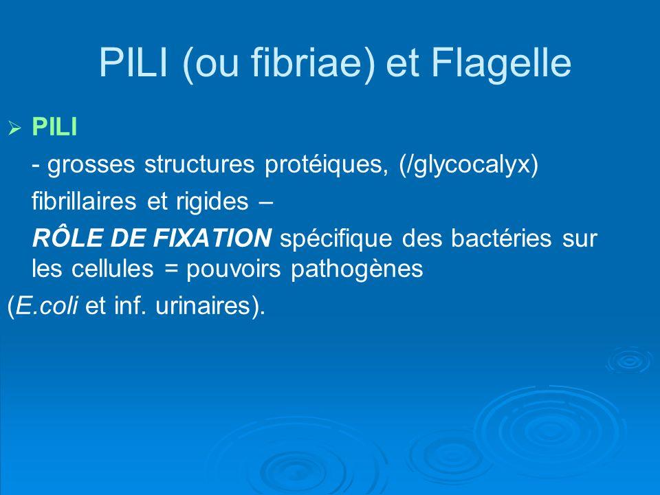 PILI (ou fibriae) et Flagelle PILI - grosses structures protéiques, (/glycocalyx) fibrillaires et rigides – RÔLE DE FIXATION spécifique des bactéries