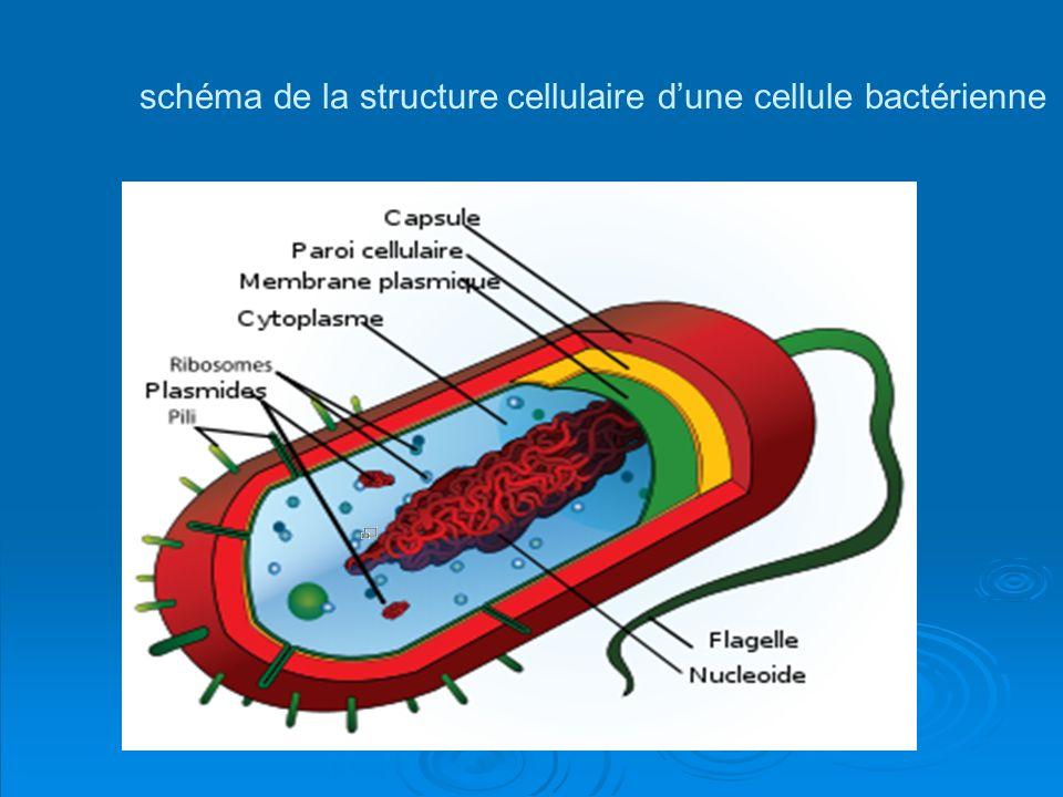 schéma de la structure cellulaire dune cellule bactérienne Schéma de la structure cellulaire dune cellule bactérienne typique. En tant que procaryote