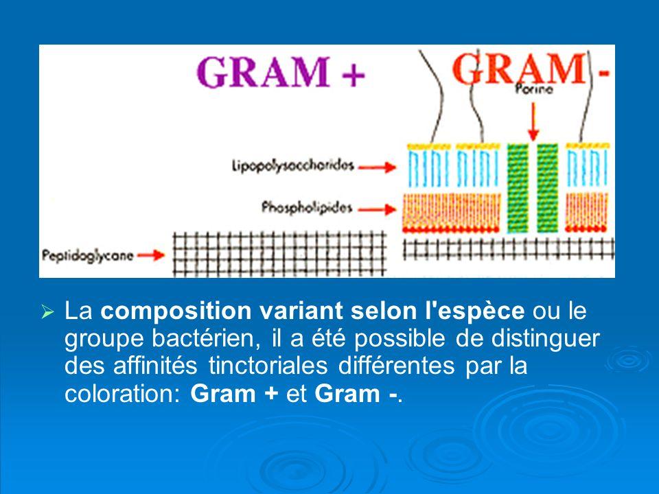 La composition variant selon l'espèce ou le groupe bactérien, il a été possible de distinguer des affinités tinctoriales différentes par la coloration