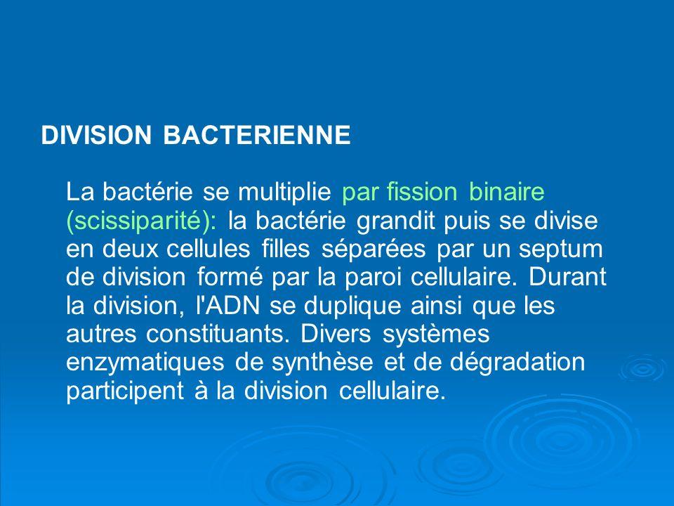 DIVISION BACTERIENNE La bactérie se multiplie par fission binaire (scissiparité): la bactérie grandit puis se divise en deux cellules filles séparées