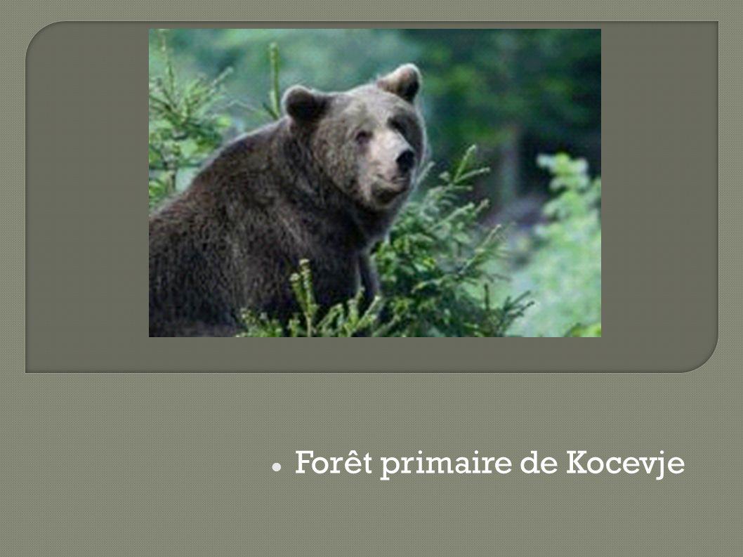Forêt primaire de Kocevje