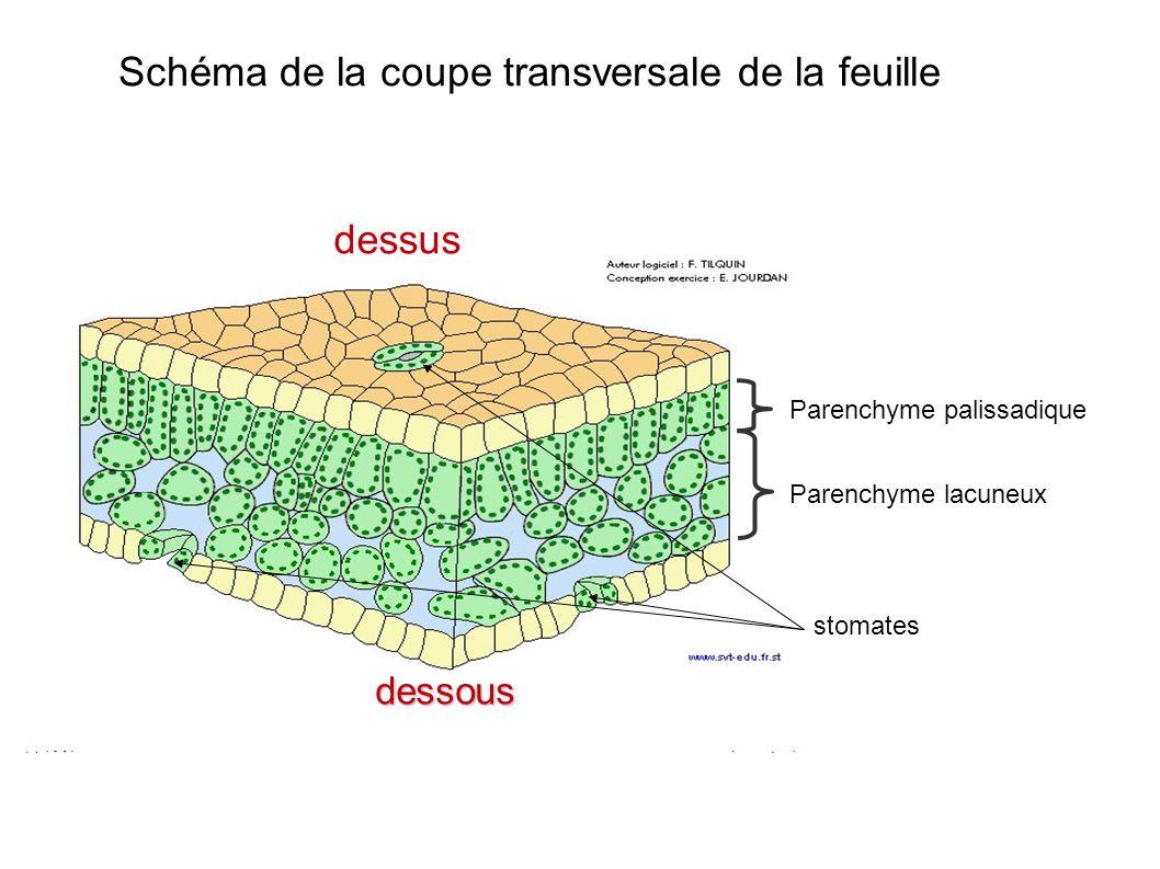 stomates dessus dessous Schéma de la coupe transversale de la feuille Parenchyme lacuneux Parenchyme palissadique