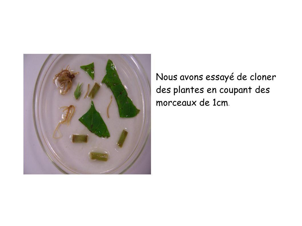 Nous avons essayé de cloner des plantes en coupant des morceaux de 1cm.