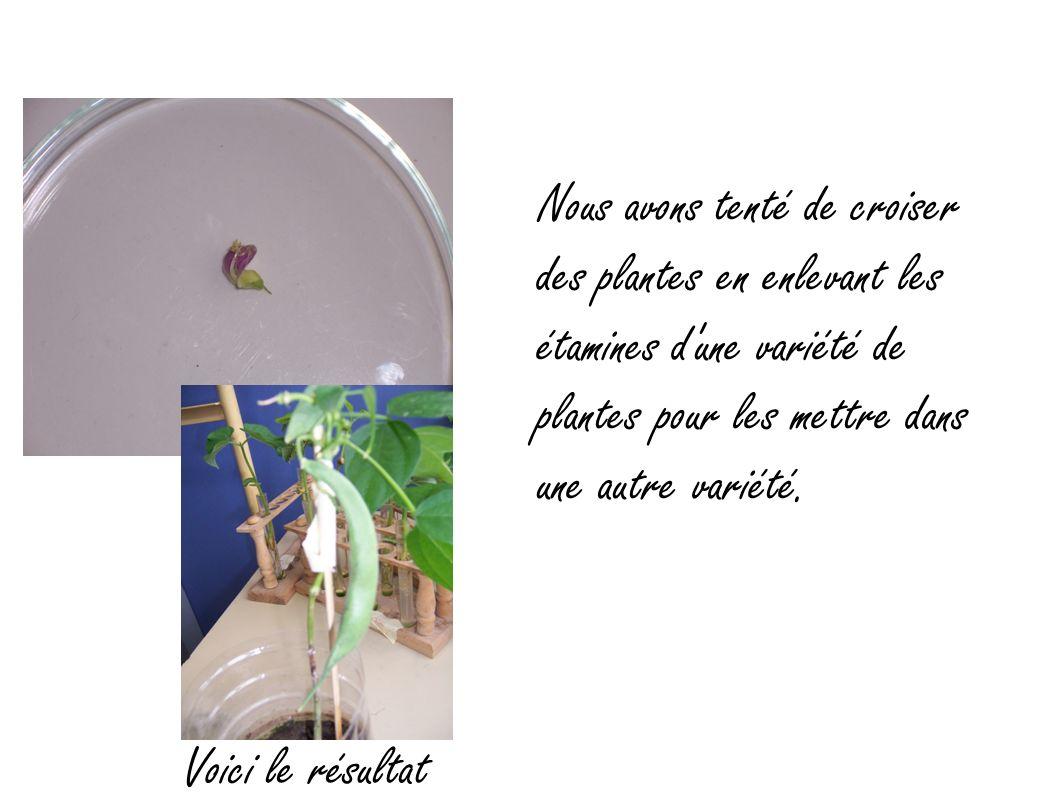 Nous avons tenté de croiser des plantes en enlevant les étamines d'une variété de plantes pour les mettre dans une autre variété. Voici le résultat