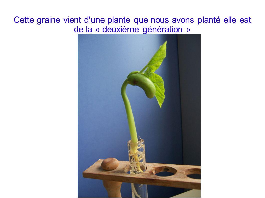 Cette graine vient d'une plante que nous avons planté elle est de la « deuxième génération »