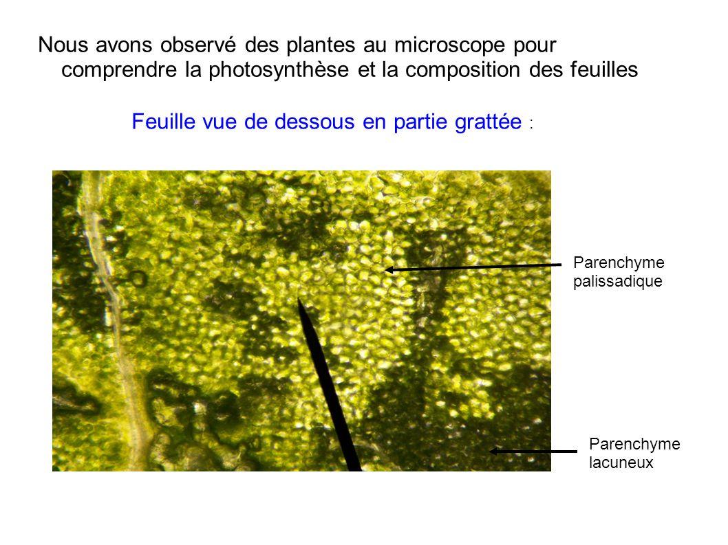 Nous avons observé des plantes au microscope pour comprendre la photosynthèse et la composition des feuilles Parenchyme palissadique Parenchyme lacune