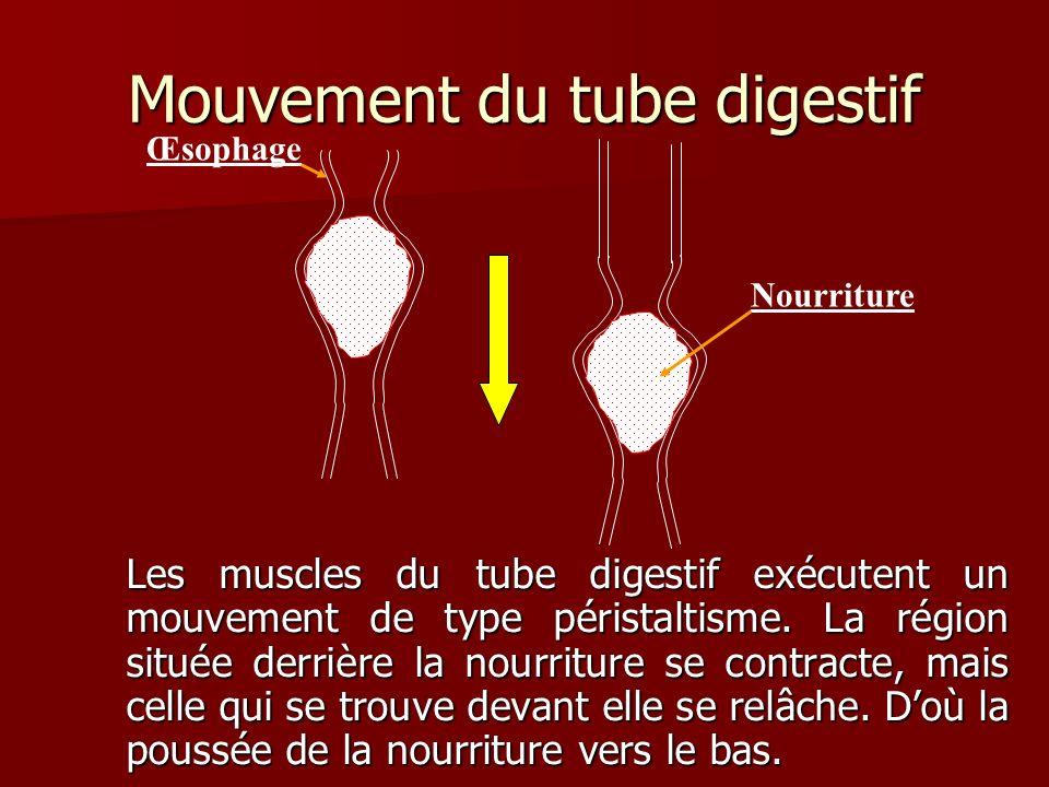Mouvement du tube digestif Les muscles du tube digestif exécutent un mouvement de type péristaltisme. La région située derrière la nourriture se contr