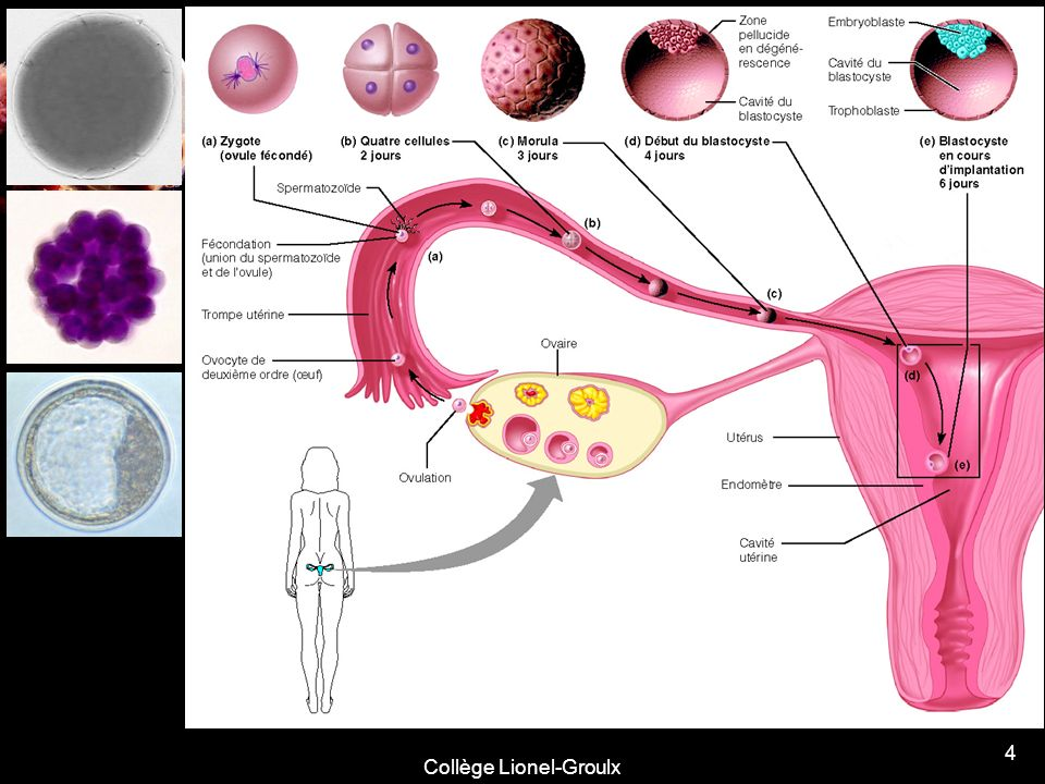 5 La période embryonnaire