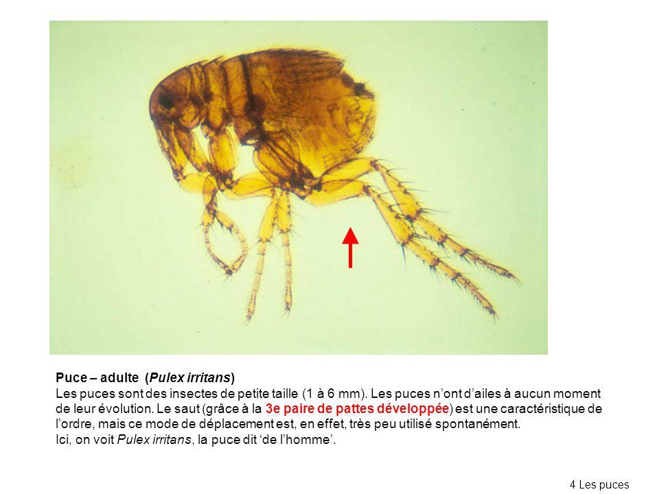 Puce – adulte (Pulex irritans) Les puces sont des insectes de petite taille (1 à 6 mm). Les puces nont dailes à aucun moment de leur évolution. Le sau