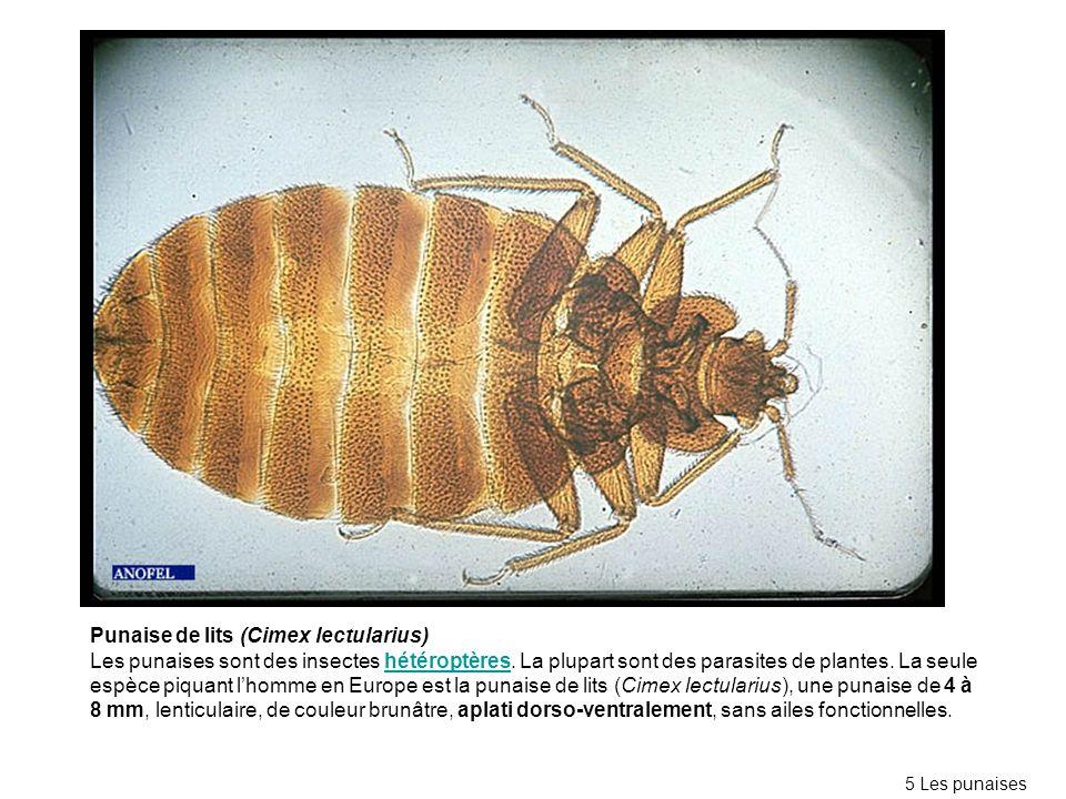 Punaise de lits (Cimex lectularius) Les punaises sont des insectes hétéroptères. La plupart sont des parasites de plantes. La seule espèce piquant lho