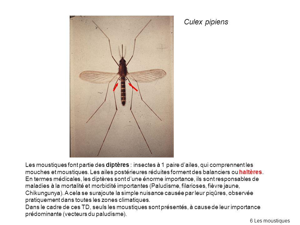 Les moustiques font partie des diptères : insectes à 1 paire dailes, qui comprennent les mouches et moustiques. Les ailes postérieures réduites formen