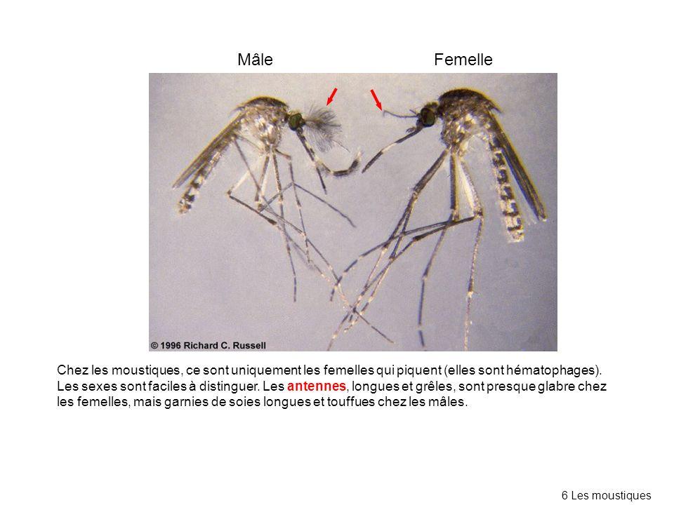 Chez les moustiques, ce sont uniquement les femelles qui piquent (elles sont hématophages).