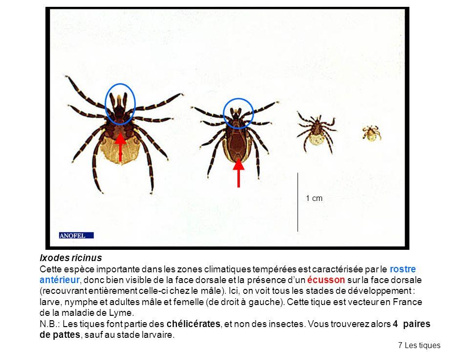 Ixodes ricinus Cette espèce importante dans les zones climatiques tempérées est caractérisée par le rostre antérieur, donc bien visible de la face dorsale et la présence dun écusson sur la face dorsale (recouvrant entièrement celle-ci chez le mâle).