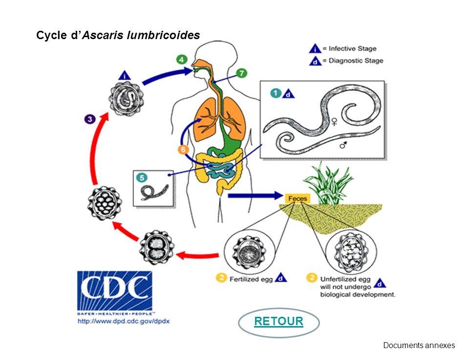 Cycle dAscaris lumbricoides Documents annexes RETOUR