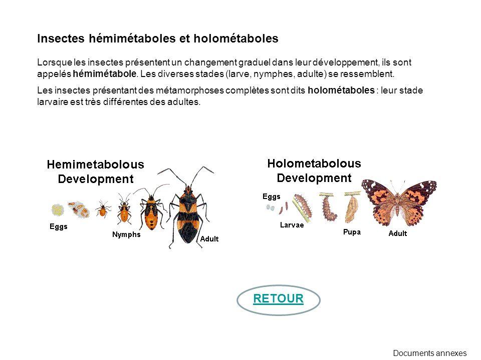 Insectes hémimétaboles et holométaboles Lorsque les insectes présentent un changement graduel dans leur développement, ils sont appelés hémimétabole.
