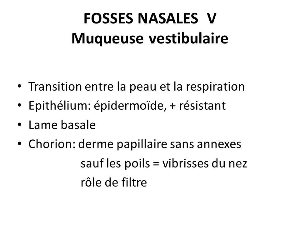 FOSSES NASALES V Muqueuse vestibulaire Transition entre la peau et la respiration Epithélium: épidermoïde, + résistant Lame basale Chorion: derme papi