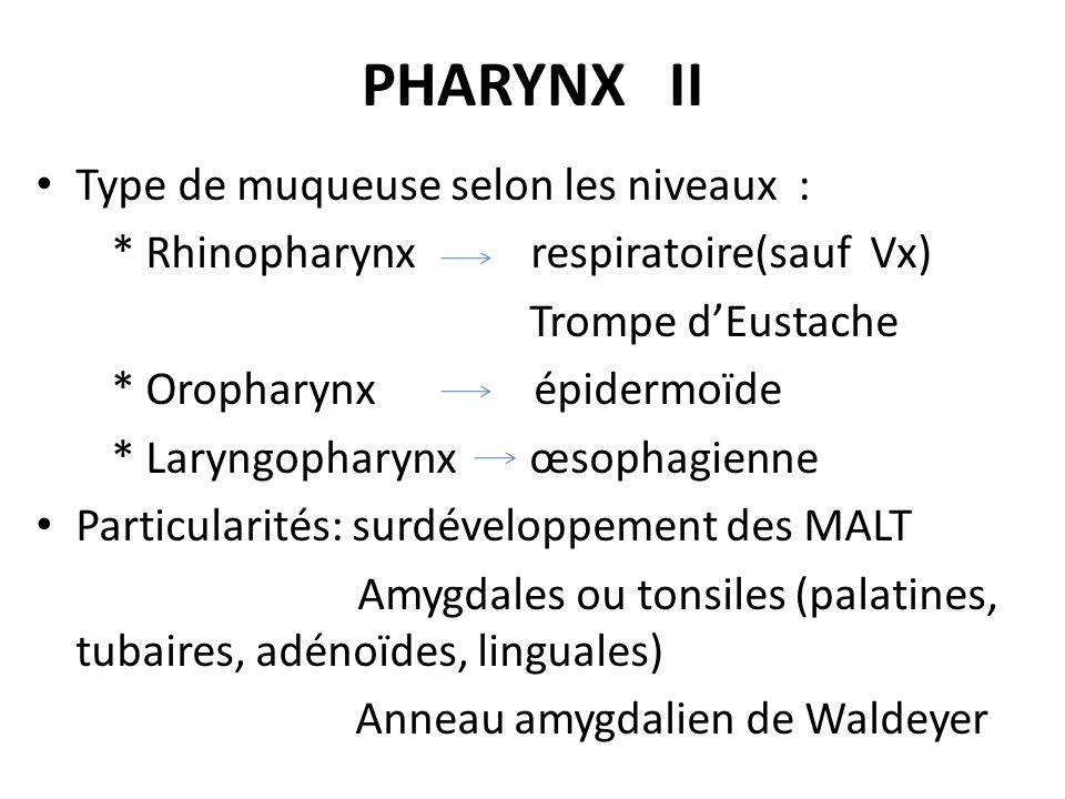 PHARYNX II Type de muqueuse selon les niveaux : * Rhinopharynx respiratoire(sauf Vx) Trompe dEustache * Oropharynx épidermoïde * Laryngopharynx œsopha