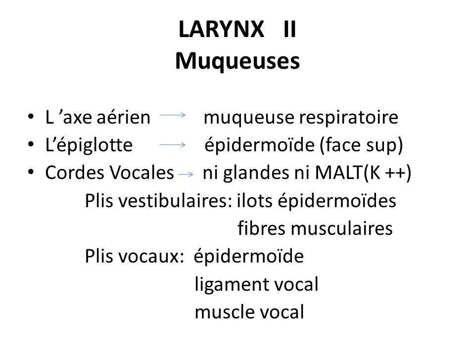 LARYNX II Muqueuses L axe aérien muqueuse respiratoire Lépiglotte épidermoïde (face sup) Cordes Vocales ni glandes ni MALT(K ++) Plis vestibulaires: i