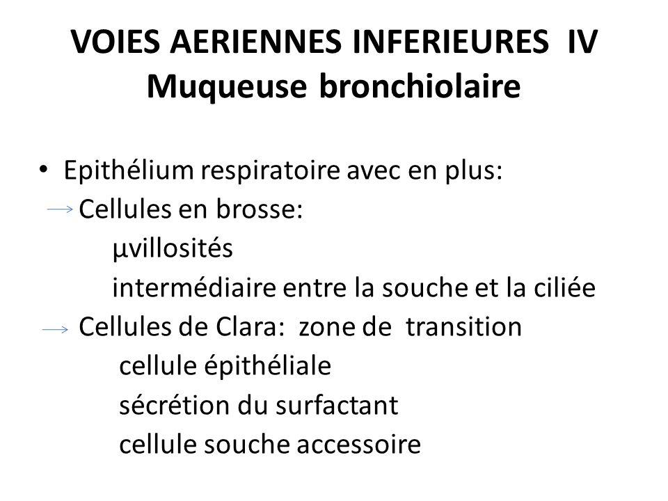VOIES AERIENNES INFERIEURES IV Muqueuse bronchiolaire Epithélium respiratoire avec en plus: Cellules en brosse: µvillosités intermédiaire entre la sou