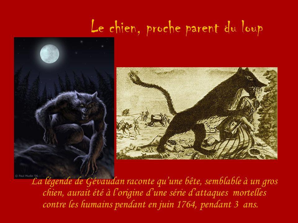 Le chien, proche parent du loup La légende de Gévaudan raconte quune bête, semblable à un gros chien, aurait été à lorigine dune série dattaques morte