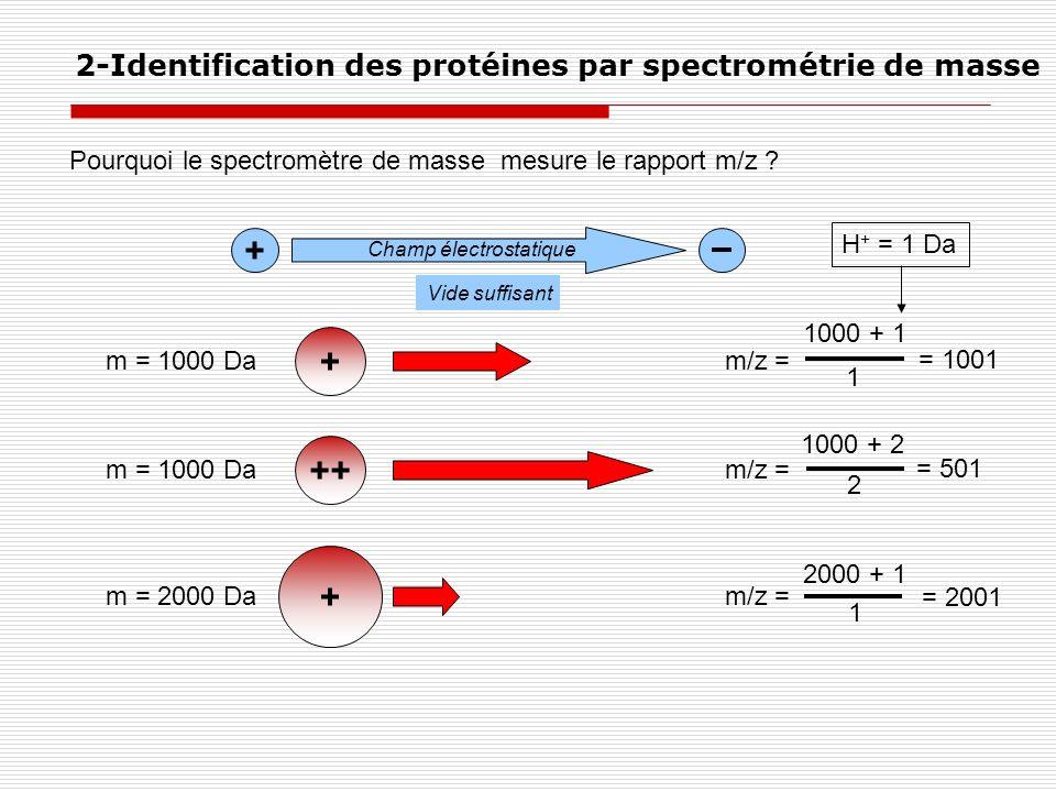 Pourquoi le spectromètre de masse mesure le rapport m/z ? 2-Identification des protéines par spectrométrie de masse + ++ + + Champ électrostatique m =